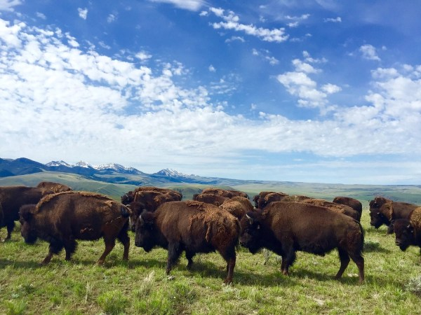 Podcast 019 – Raising Bison For Meat in Montana