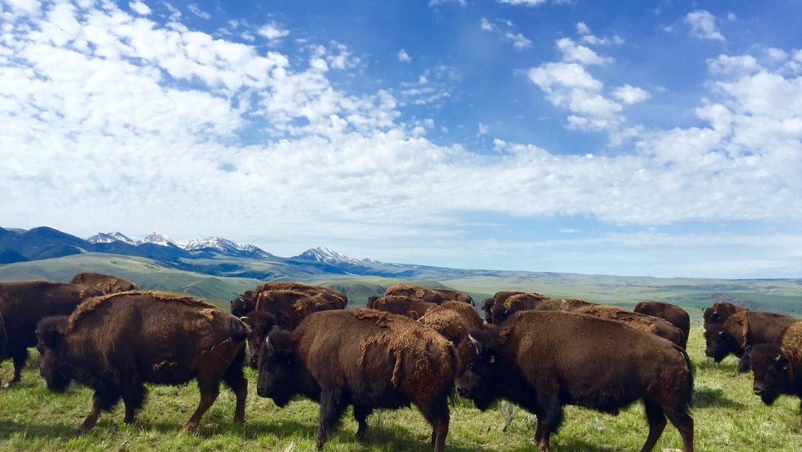 Raising Bison For Meat in Montana | Agriculture Proud Podcast 019