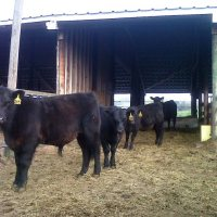 Why do farmers and ranchers castrate cattle? | Ask a Farmer