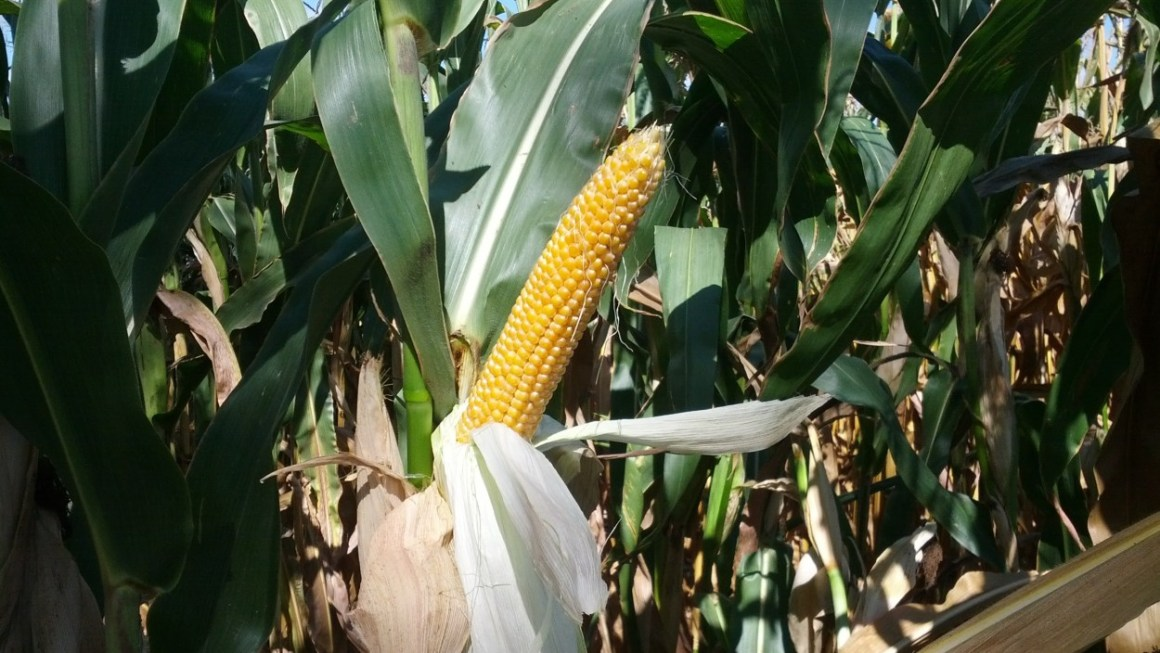 Why do farmers leave dying corn in fields? | Ask A Farmer
