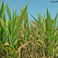 Ask A Farmer: Does feeding cattle corn harm them?