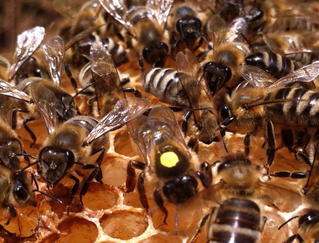 Bienenkönigin auf Bienenwabe mit Arbeiterbienen