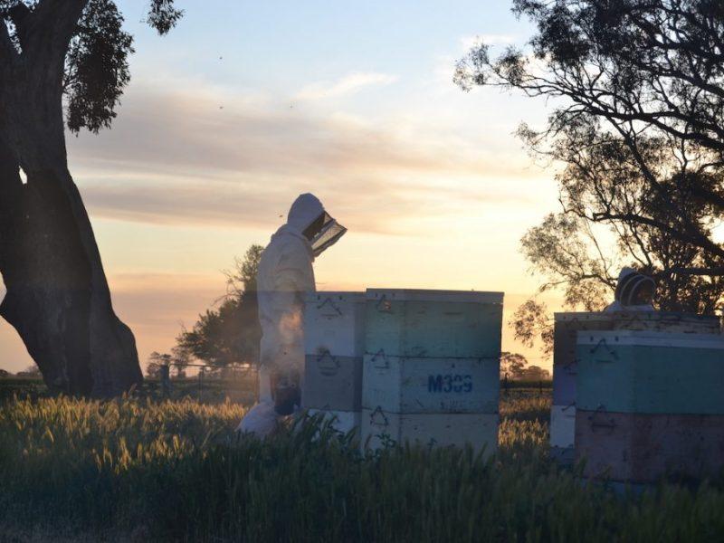 Australischer Imker geht mit Smoker um die Bienen bei Sonnenuntergang