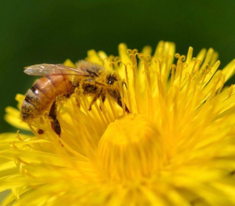 Biene sammelt Nektar auf Löwenzahn