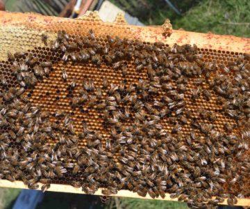 Bienenbrutwabe mit Pollen und Honig