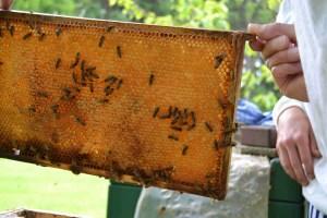 Bienenwabe mit Honig Deutsch-Normal-Maß