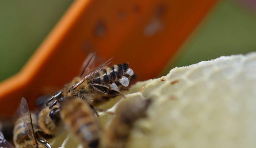 Honigbiene mit ausgeschwitzten Wachsschüpchen