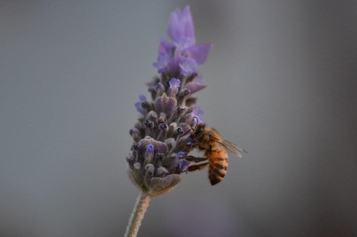 Honigbiene nimmt Nektar von Schopflavendel auf