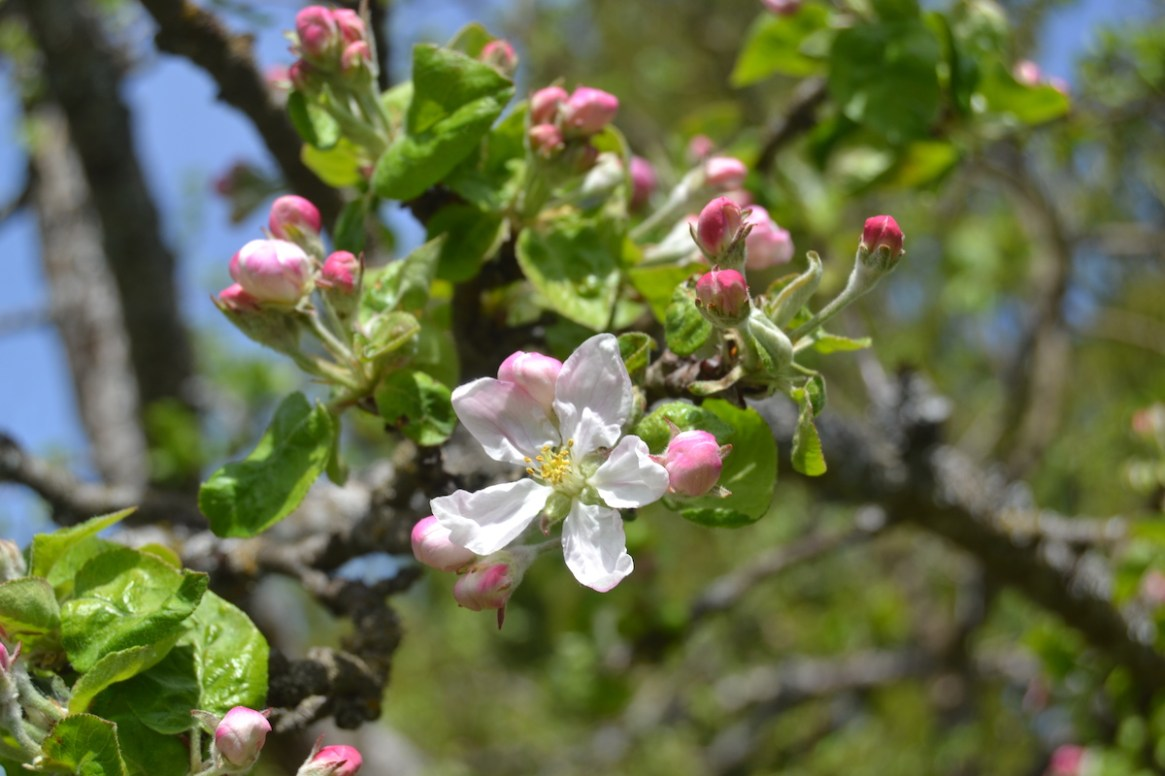 King-Blossom Apfelblüte