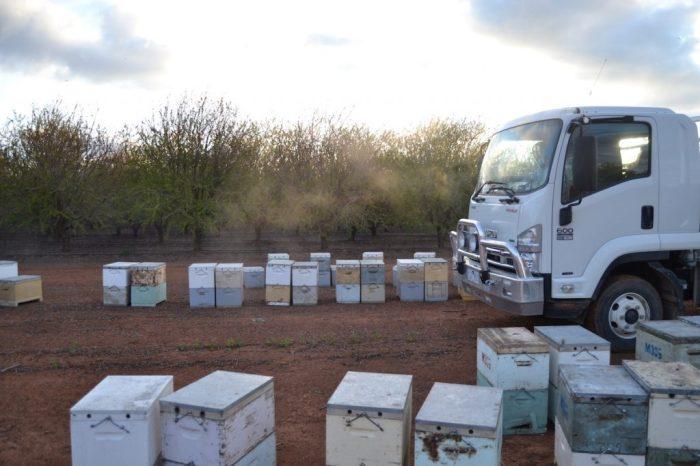 LKW Fahrerhaus zwischen Bienenvölkern in Mandelplantage