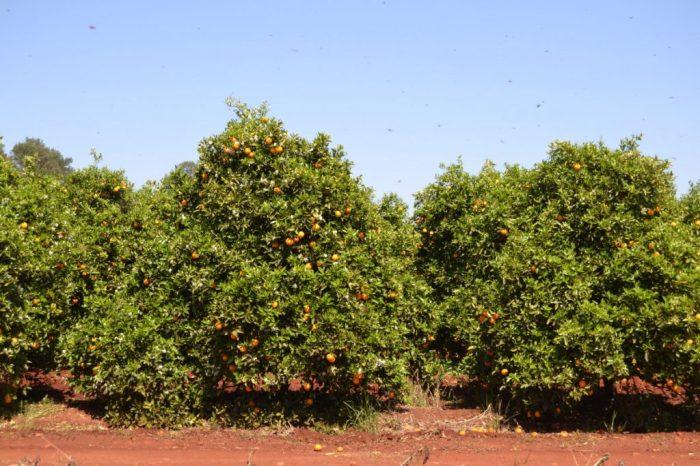 Orangenbäume in einer Plantage