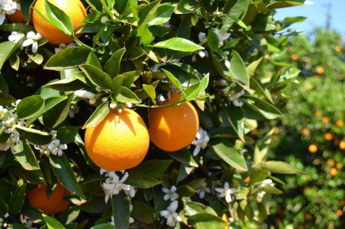 Zwei Orangen hängen an einem blühenden Orangenbaum