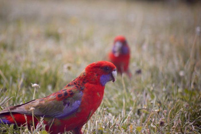 rötlich bunter Papagei hat Gras im Schnabel Wiese