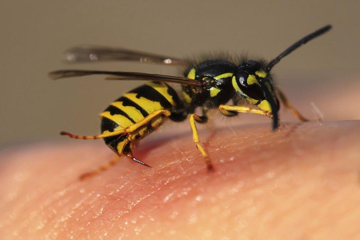 Ein Wespenstich - Allergiefrei sollten Imker*innen sein