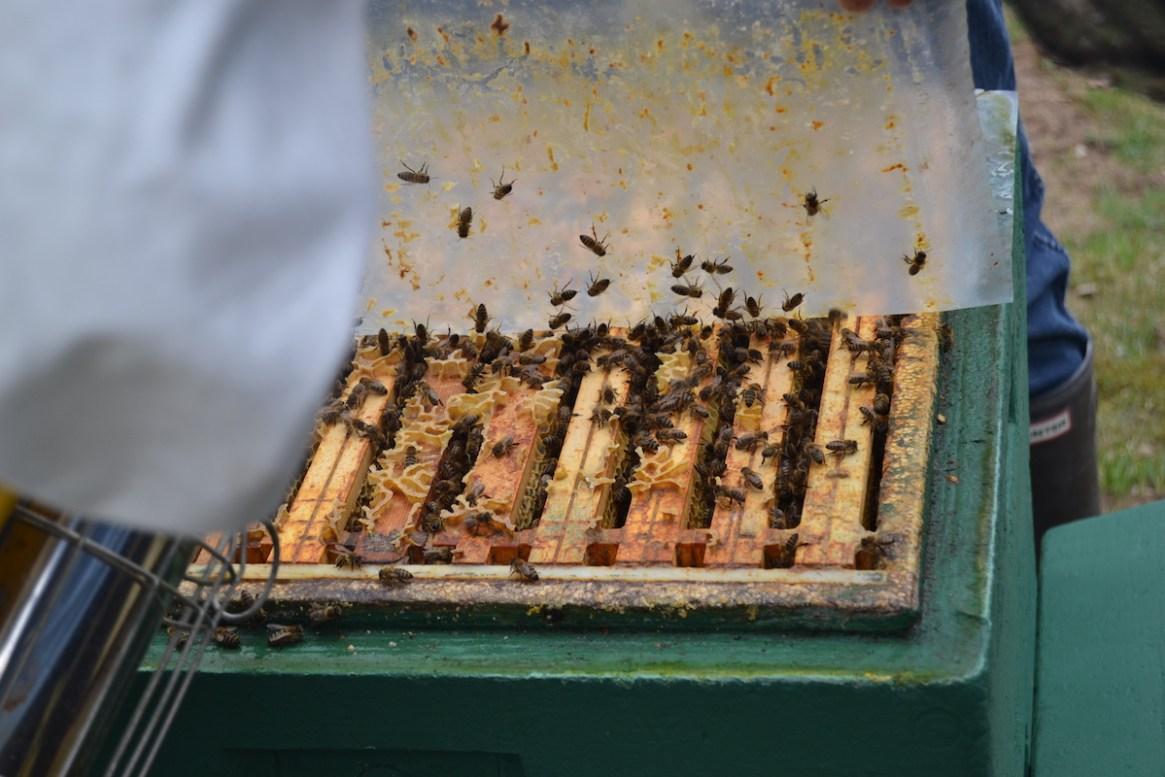 Der Blick in das Bienenvolk ermöglicht es den Volkszustand einzuschätzen