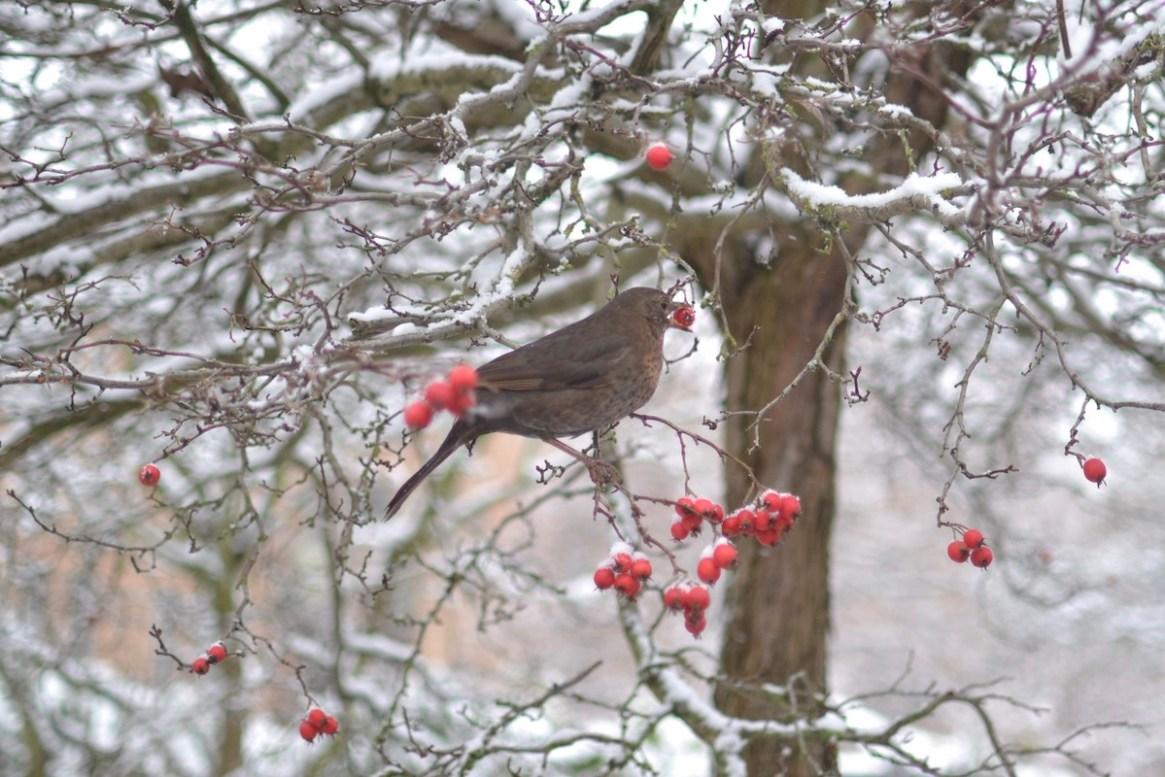 Eine Amsel ernährt sich von Beeren im Winter