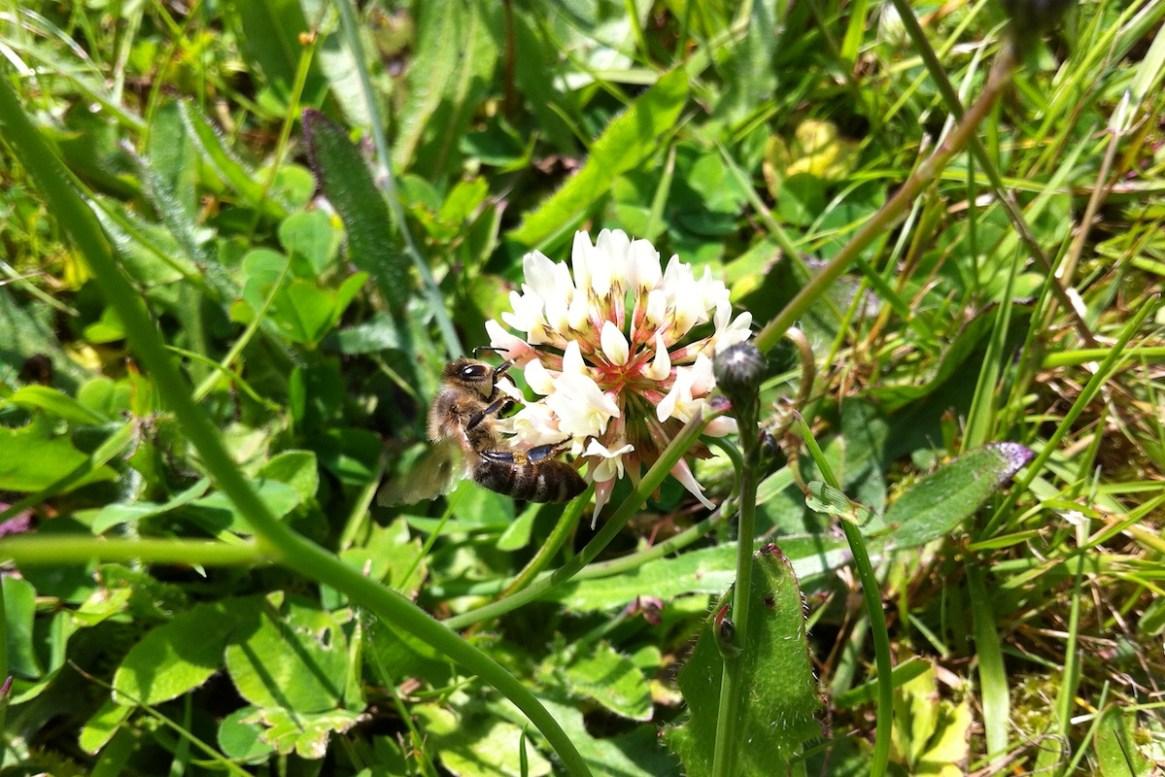 Eine Biene sammelt Nektar an einer Kleeblüte
