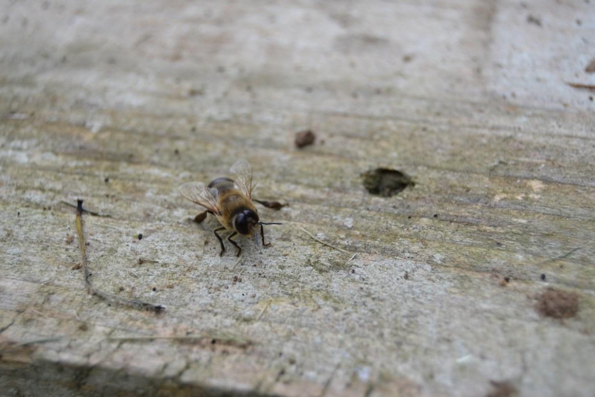 Eine Drohne wurde von dem Bienenvolk vor die Tür gesetzt