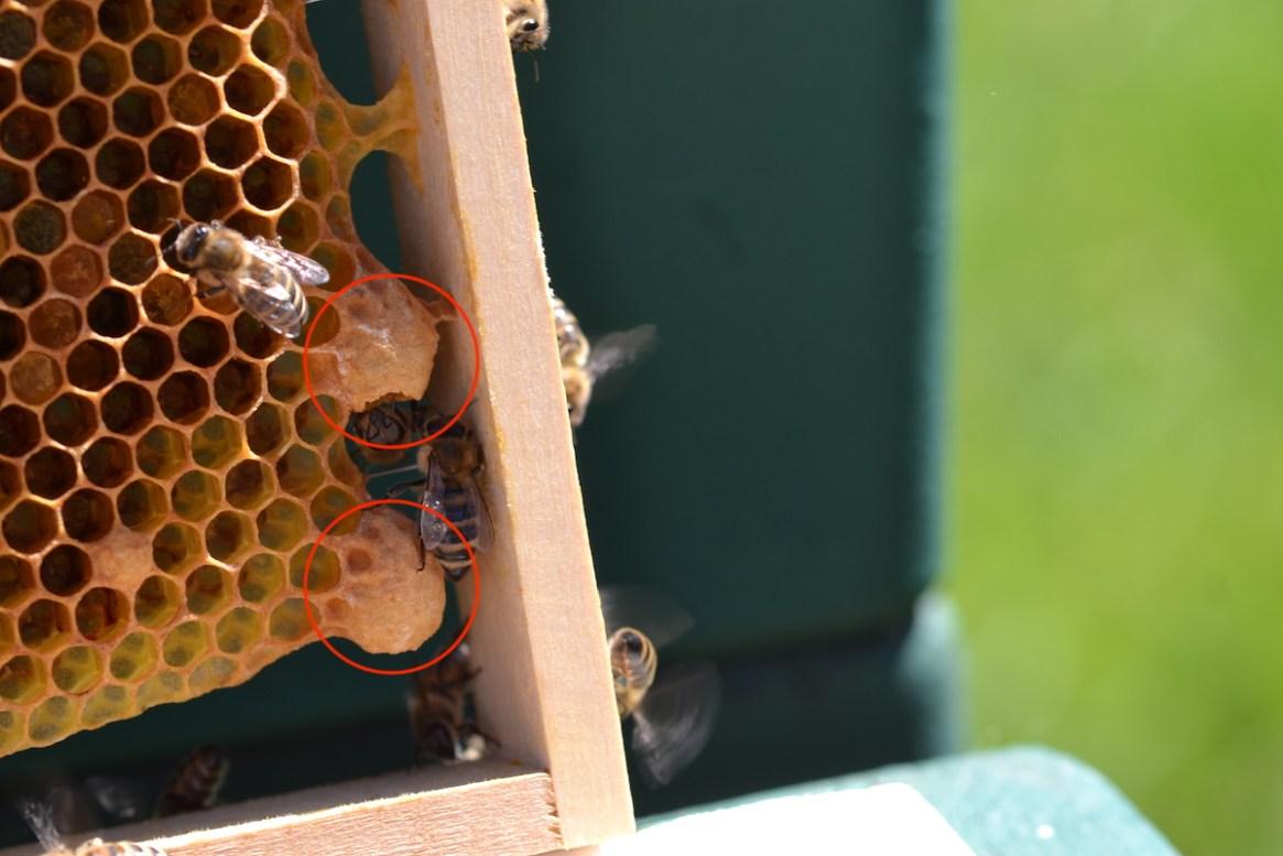 Ansätze einer Königinzelle bei Honigbienen