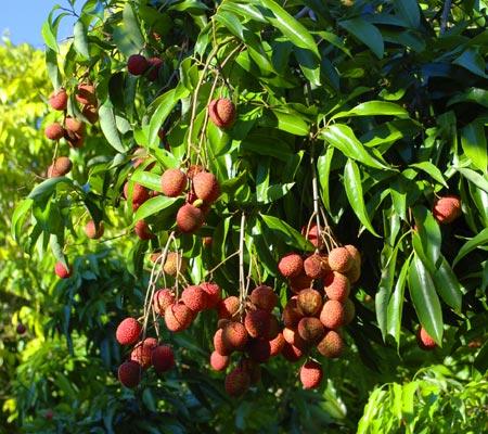 lychee-fruit