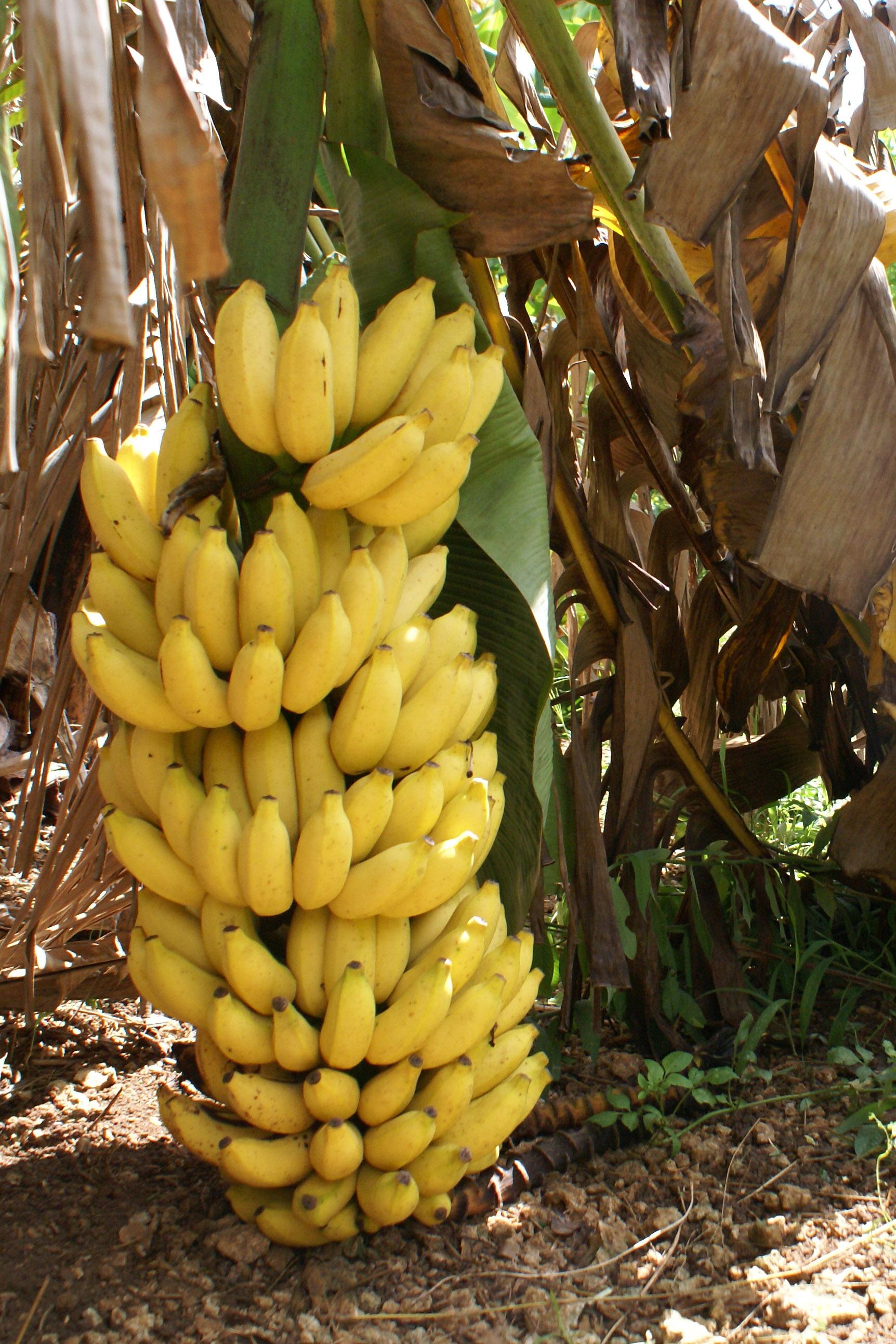 Bananas - Things Guyana