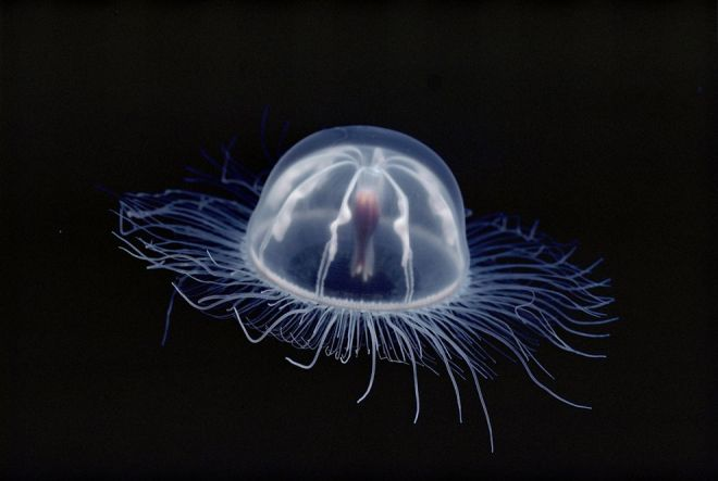 Jellyfish, Antarctica by Bill Curtsinger