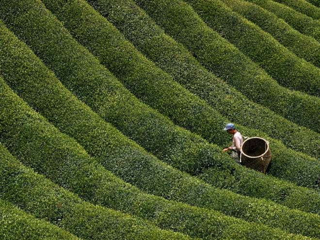 Picking Tea Leaves by George Mobley