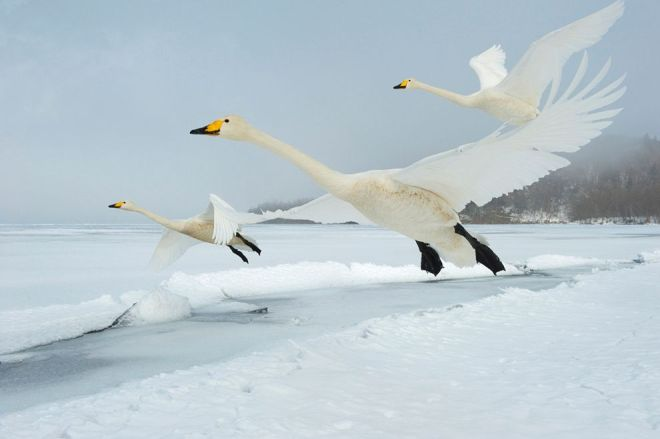 Whooper Swans, Japan by Stefano Unterthiner