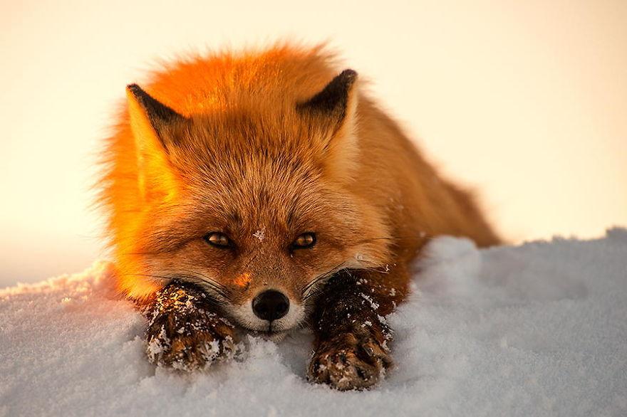 Ivan Kislov - Foxes - Hello You