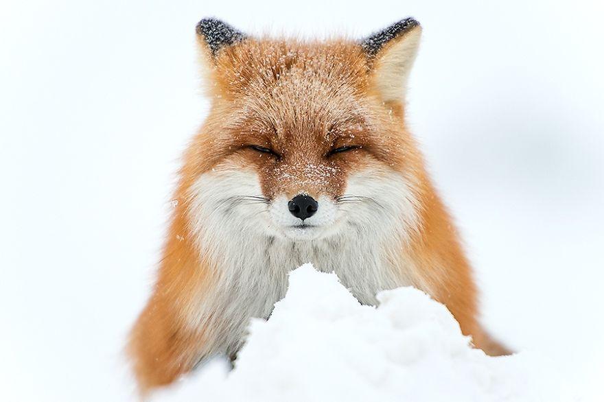 Ivan Kislov - Foxes - Snow