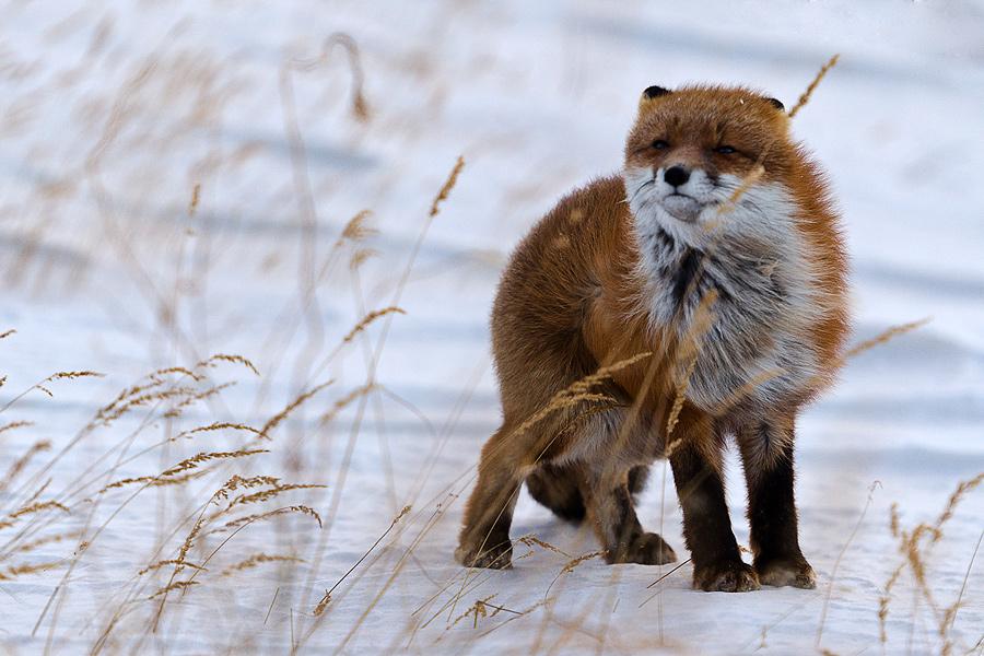 Ivan Kislov - Foxes - Wind