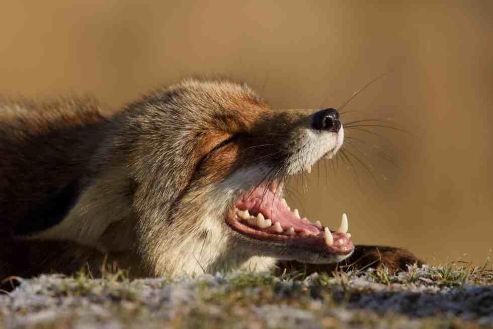 Le rigolo - Le renard des dunes - ©Laurens De Haas
