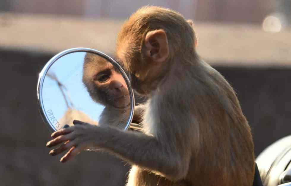 Un singe se regarde dans le rétroviseur d'une moto
