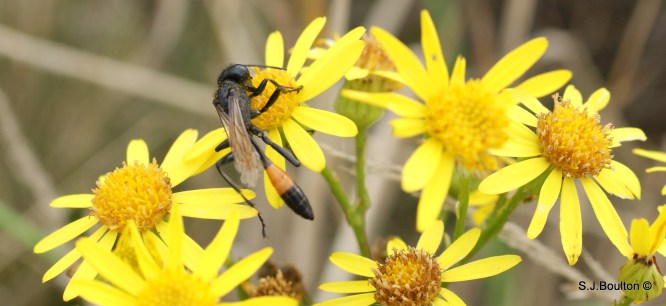 Ammophila sabulosa caterpillar hunting wasp
