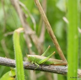 Great green cricket