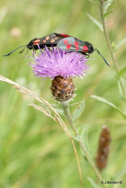 6spot burnet moths mating