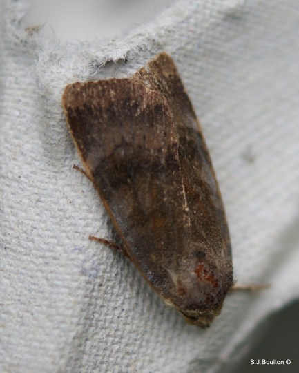 lesser broad bordered yellow underwing