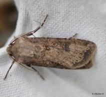 Turnip Moth Agrotis segetum