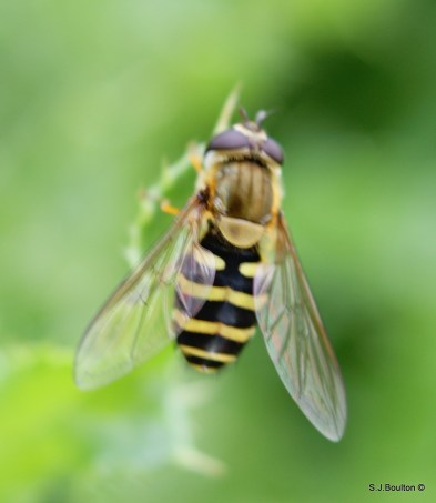 Female Syrphus sp