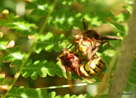 fighting another hornet