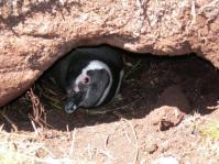 magellanic penguin(falklands)