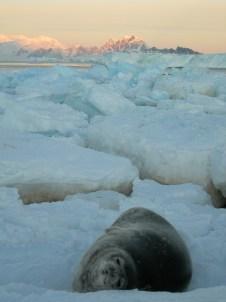 Weddell seal on pancake ice