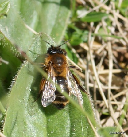 Andrena nigroaenea with a Stylops poking out of the end of its abdomen