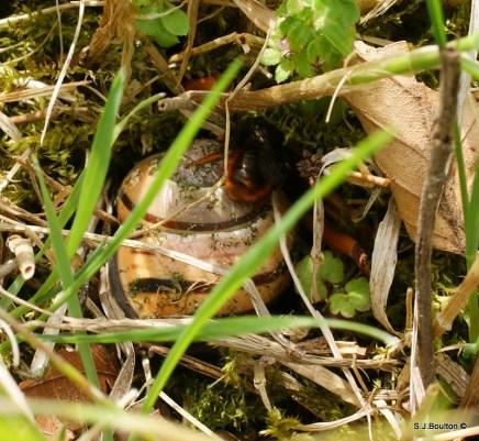 Osmia bicolor moving a shell around