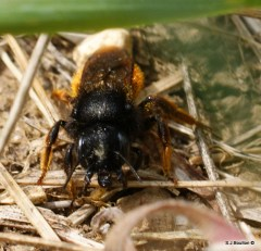 Osmia bicolor with its jaws open
