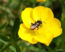 Sphecodes sp of bee