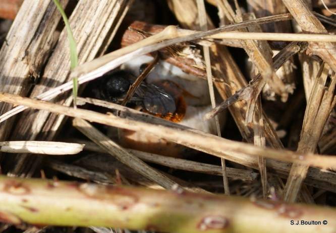 Osmia bicolor on a she which she is nesting in