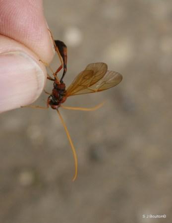 Eremotylus marginatus