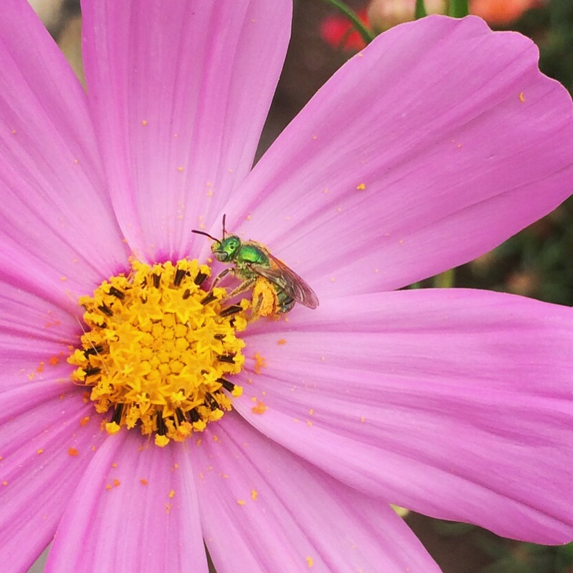 Beekeeping Like A Girl TOP 10 BEE FRIENDLY FLOWERS TOP 10 BEE FRIENDLY FLOWERS
