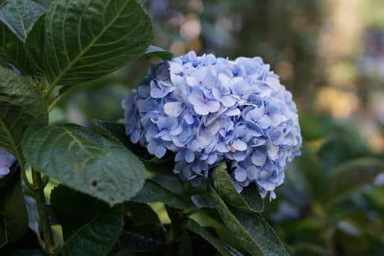ไฮเดรนเยียดอกไม้แทนความรู้ แทนคำขอบคุณ ใช้ได้ทุกเทศกาล 1